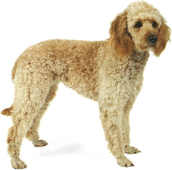 Эксклюзивная порода собак лабрадудль: фото, описание и уход