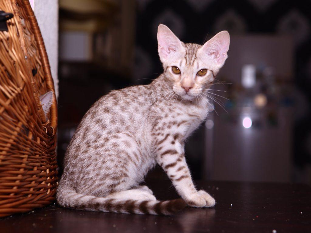 Кошки породы оцикет: история происхождения, особенности и характер кошек, красивые фото; где купить оцикета