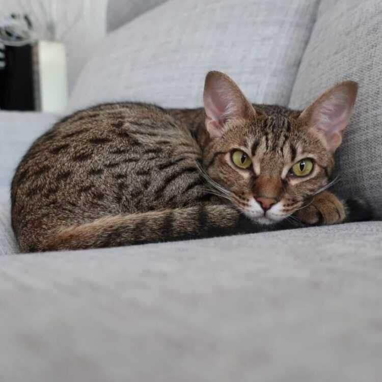 Оцикет: описание породы, характеристика и фото кота, а также цена на котят и отличия от бенгальской кошки