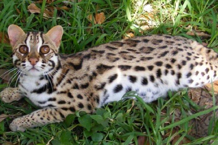 Кошка похожая на леопарда — как выглядят породы с пятнистым окрасом