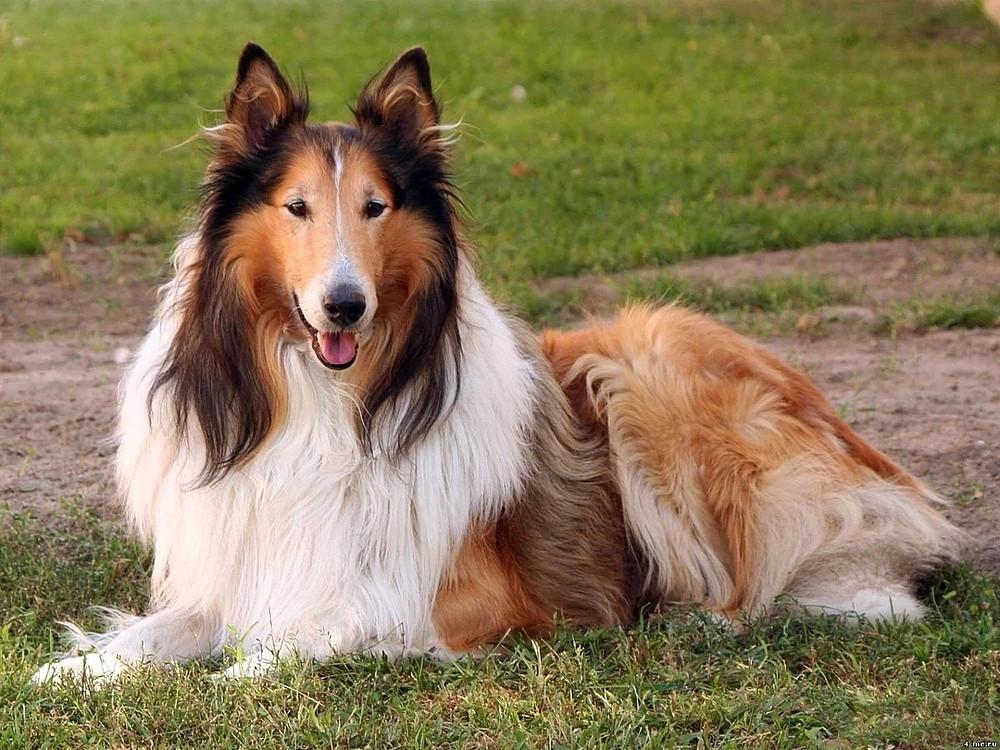 Колли собака (шотландская овчарка): описание, характеристика, фото