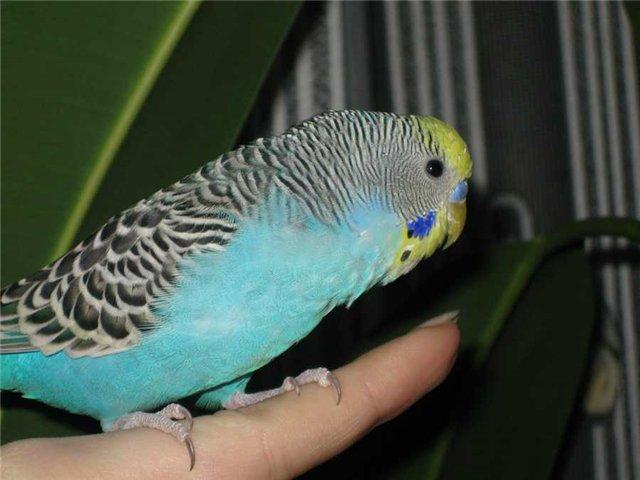 Как научить волнистого попугая говорить в домашних условиях, умеют ли разговаривать самки