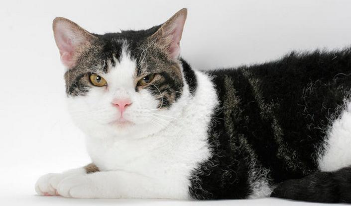 Американская жесткошерстная - происхождение, особенности поведения и содержание   породы кошек
