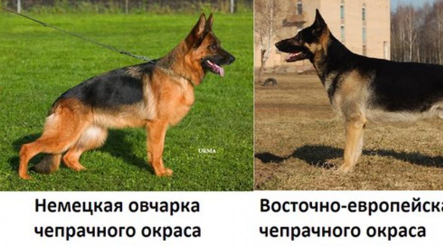 Чем отличается немецкая овчарка от восточно-европейской: сравнение