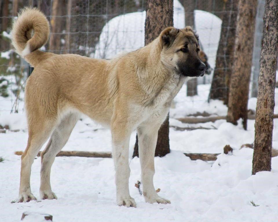 ᐉ содержание волкодава: описание породы, уход, фото собак - zoovet24.ru