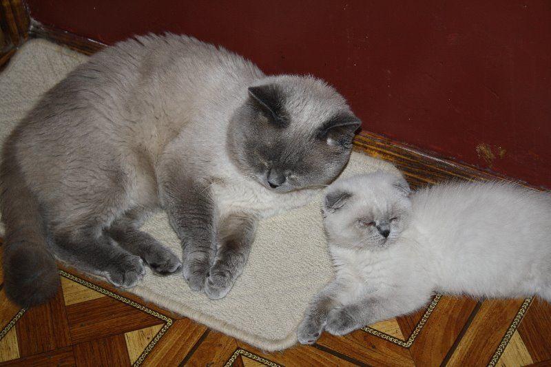 Вязка кота с кошкой в первый раз: как правильно сделать? инструкция