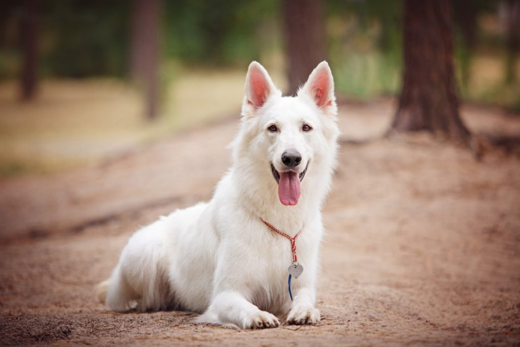 Белая швейцарская овчарка (49 фото): описание породы собак, характер короткошерстных и длинношерстных щенков, отзывы владельцев