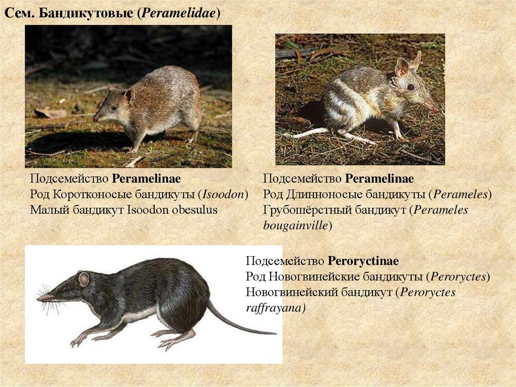 Свиноногий бандикут: места обитания, внешний вид, образ жизни
