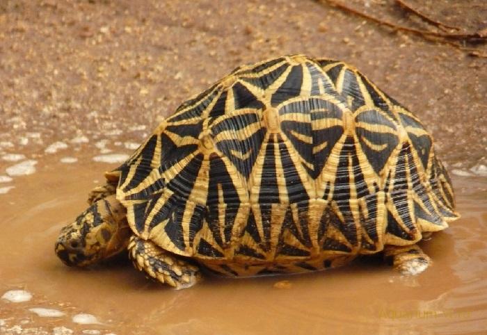 Звёздчатая черепаха - вики