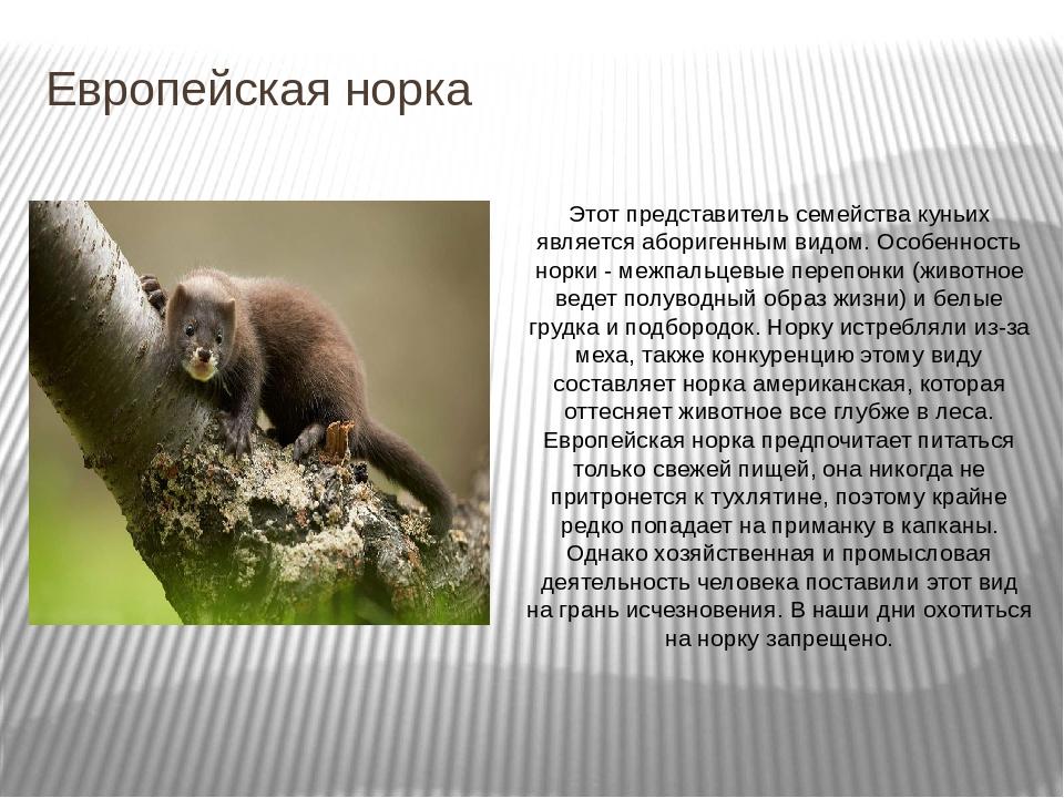 Чем отличается хорек от ласки. ласка и горностай -это разные животные? цены на различные виды электронных отпугивателей от грызунов
