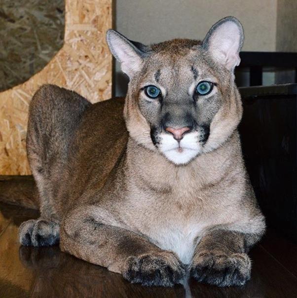 Ягуарунди – необычный представитель семейства кошачьих из рода пум: подробности +видео