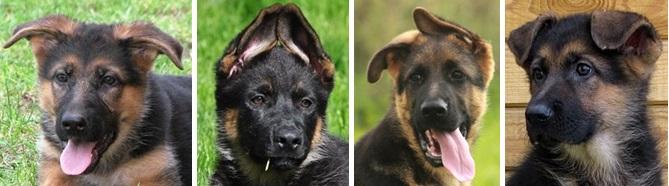 Когда встают уши у немецкой овчарки? 14 фото в каком возрасте нужно поставить щенкам ушки? как это сделать в домашних условиях?