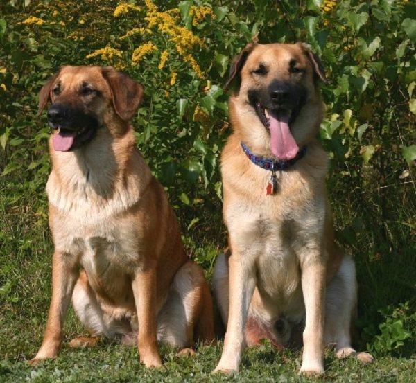 Чинук - это умная, дружелюбная и редкая порода собак