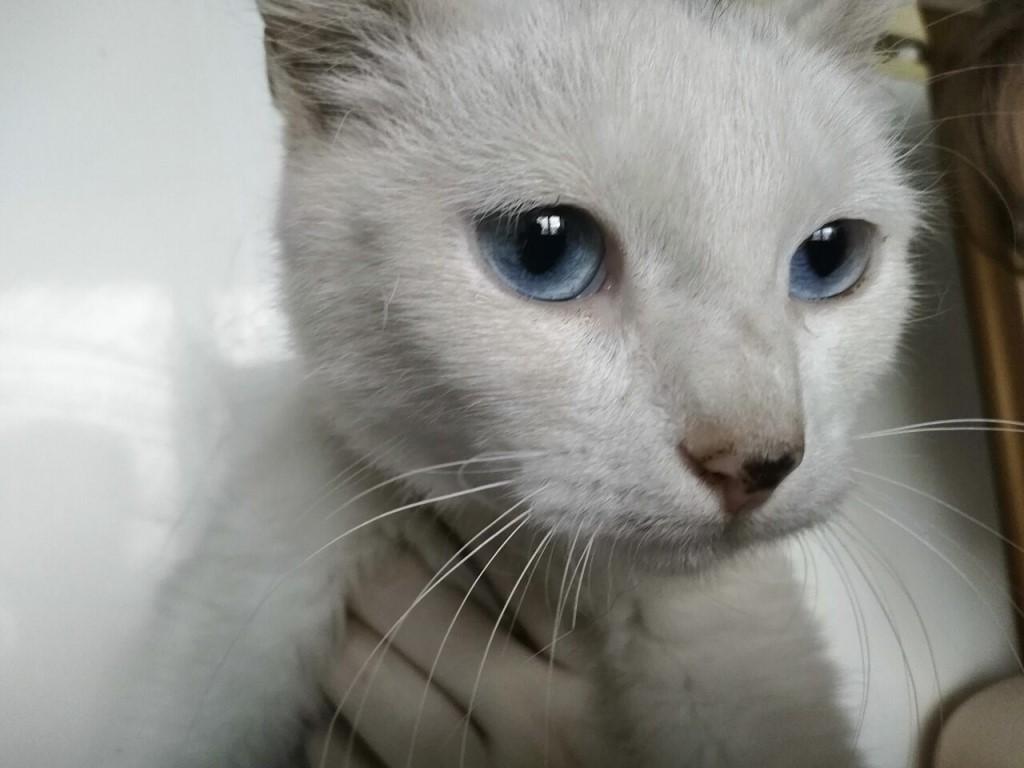 Белая кошка с голубыми глазами: фото, порода, почему глухие