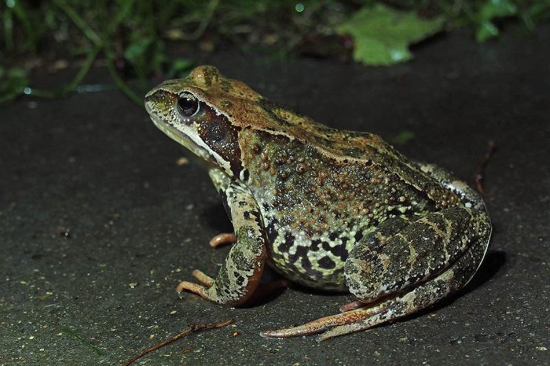 Лягушки. остромордая лягушка = rana arvalis nilsson, 1842. мир земноводных: жабы квакши, лягушки, тритоны: икра, размножение, поведение, питание, охота, зимовка
