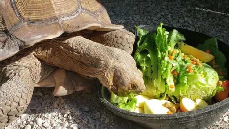Что в домашних условиях едят черепахи: чем кормить сухопутных и водных черепашек