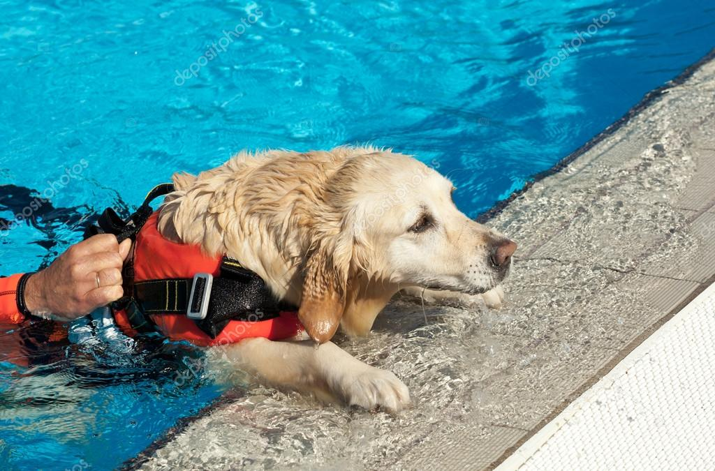 Какая собака чаще всего работает снежным спасателем и при спасении утопающих