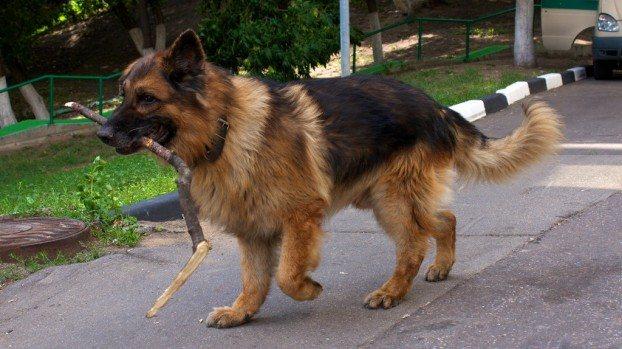 Выбор клички для немецкой овчарки. как назвать собаку – мальчика или девочку?