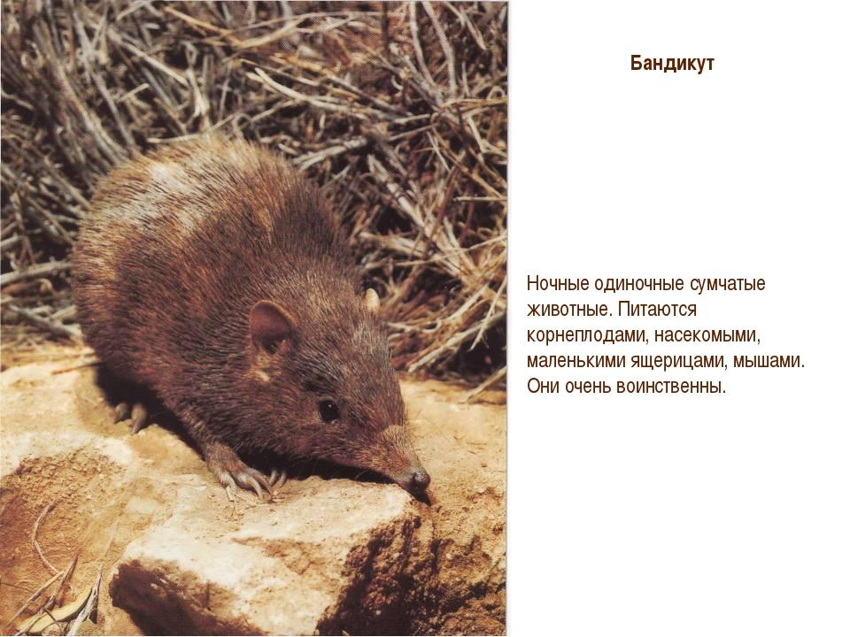 Восточный бандикут - eastern barred bandicoot - abcdef.wiki