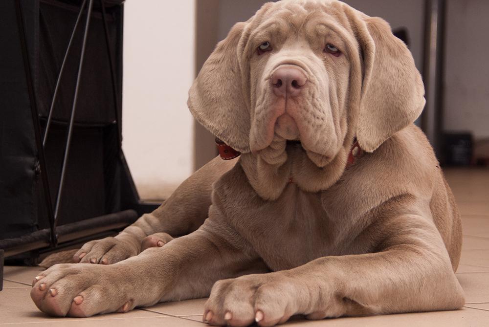 Лучшие собаки для квартиры: крупные, мелкие и средние породы, критерии выбора, описание 24 пород с фото