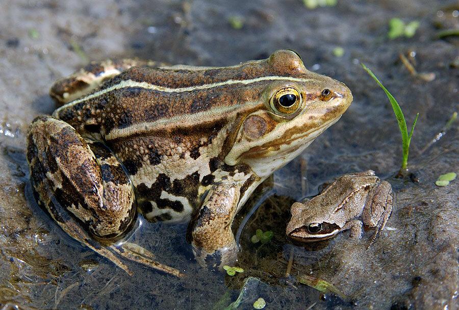 Прудовая лягушка (фото): как выглядит, где обитает, чем питается и интересные факты