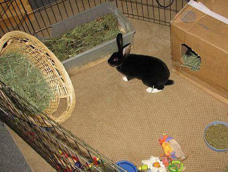 Декоративные кролики: содержние и уход в домашних условиях для начинающих