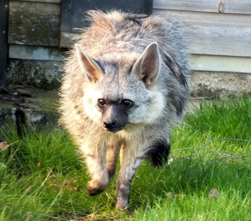 Вид: proteles cristatus = земляной волк
