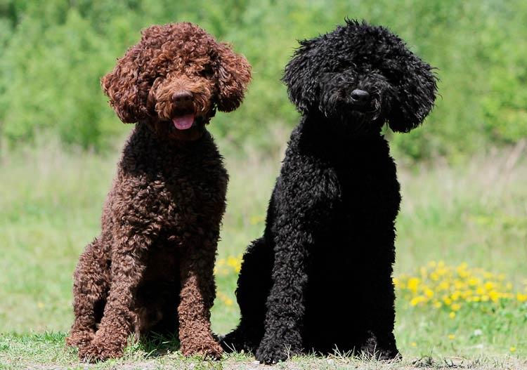 Барбет (французская водяная собака): описание породы с фото и видео