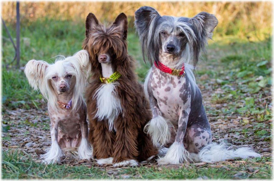Описание китайской хохлатой собаки: фото, уход, содержание и история породы китайская хохлатая