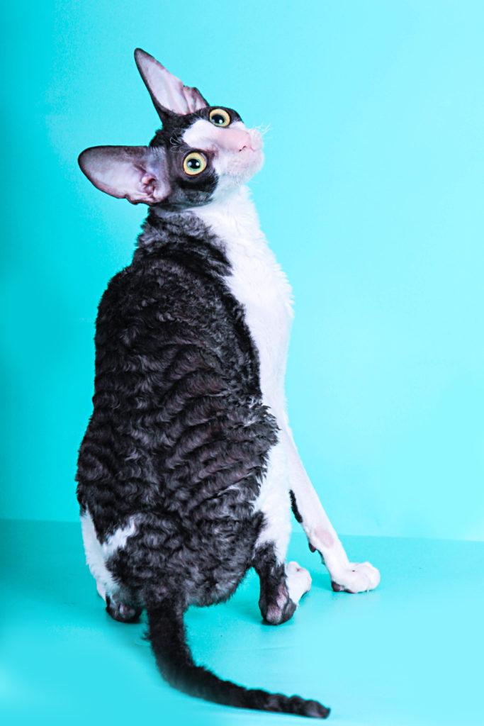 Девон-рекс - порода кошек - информация и особенностях   хиллс