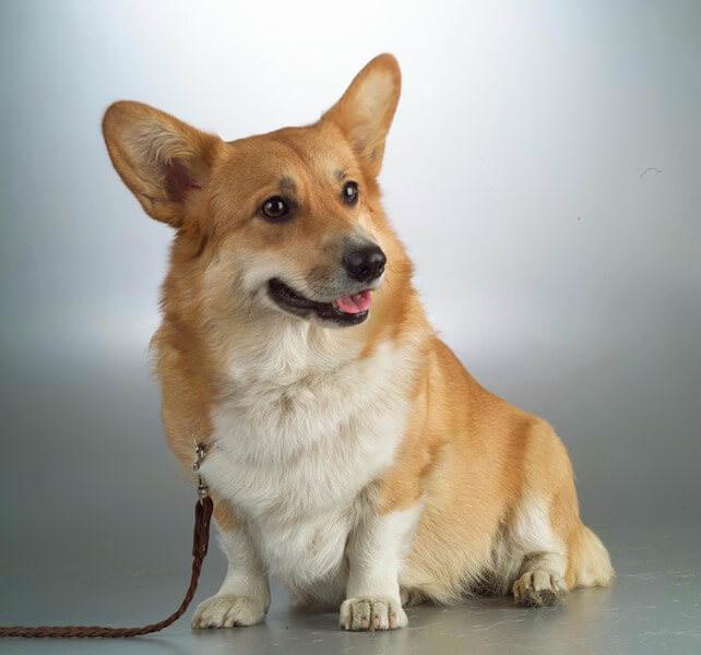 Порода собак с коротким туловищем