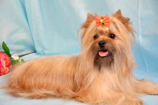 Русская салонная собака - вики