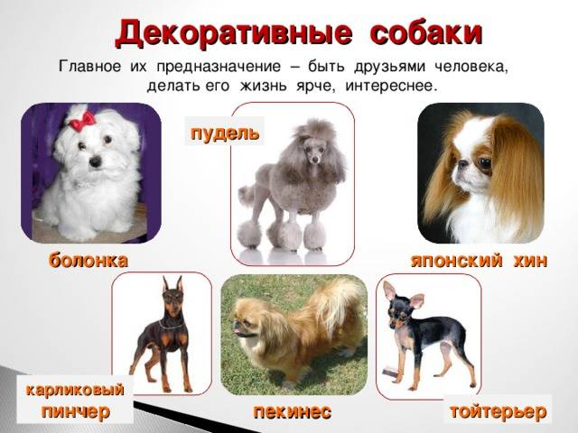18 популяпных пород служебных собак с описанием   pet7