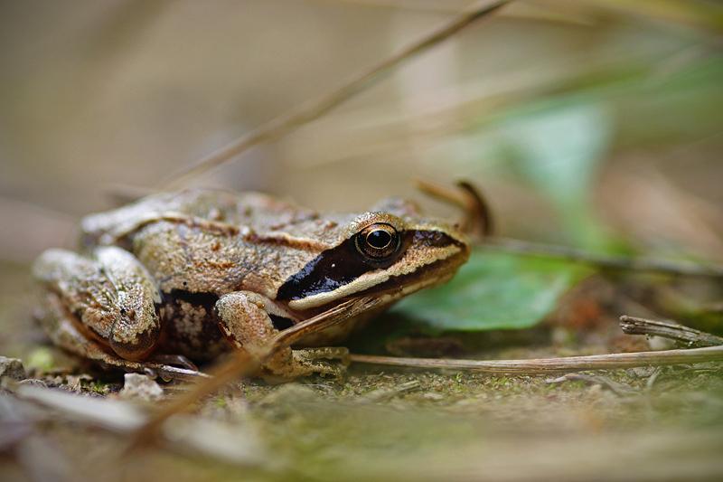 Лягушки: описание, среда обитания, чем питаются, сколько живут