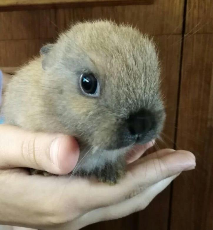 Где покупать карликового кролика?