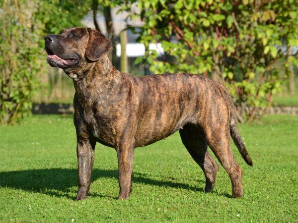 Канарский дог: фото и описание породы, цена щенка, отзывы владельцев