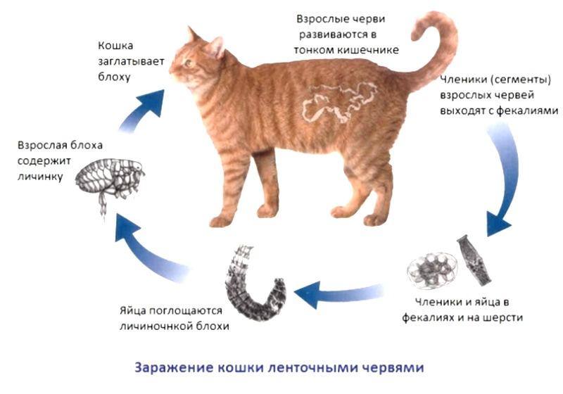 Глисты у кошек. симптомы, лечение, профилактика кошачьих глистов