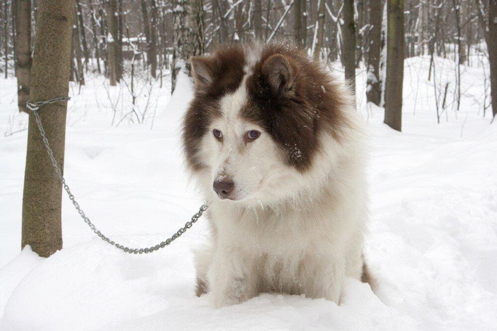 Якутская лайка − фото собаки, характеристика породы, цена щенка