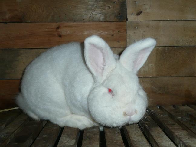 Новозеландский кролик: описание и содержание красной и белой породы