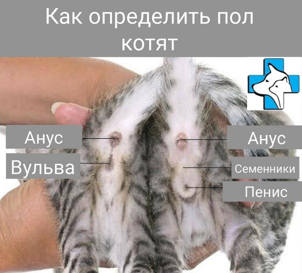 Как отличить кота от кошки - 5 методов