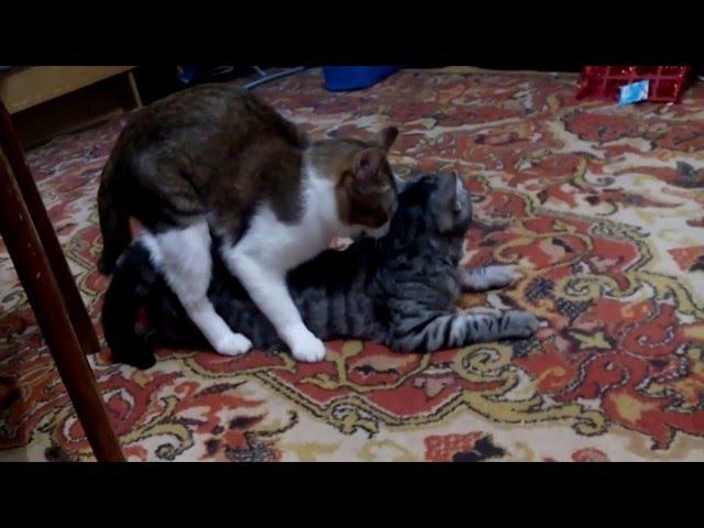 Вязка котов и кошек: подготовка к случке и детали ее проведения
