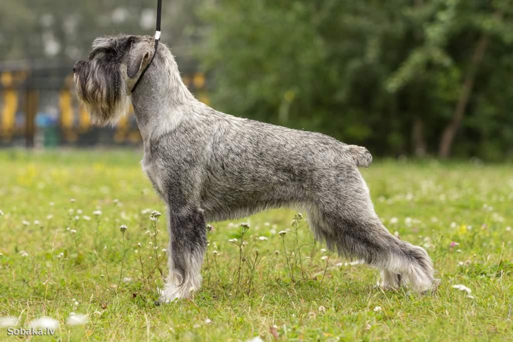Дратхаар (немецкая жесткошерстная легавая собака): обзор породы с фото и видео