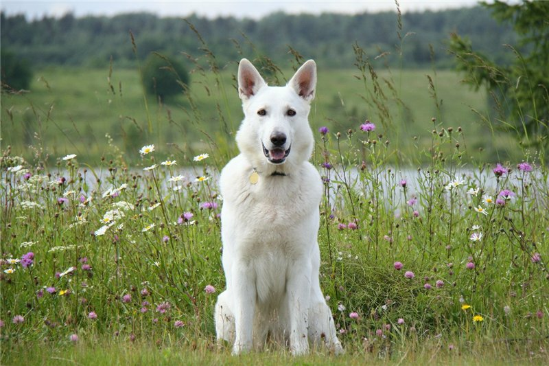 Белая швейцарская овчарка: описание породы