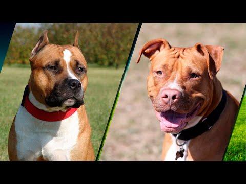 Перечень отличий пород собак стаффордширский терьер и питбуль с фотографиями