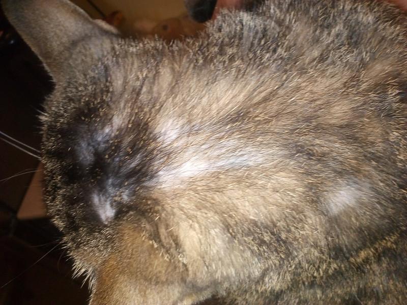 У кошки выпадает шерсть клоками до проплешин
