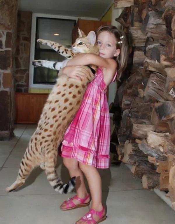 Большие кошки (88 фото): самые крупные в мире коты. описание домашних пород больших размеров