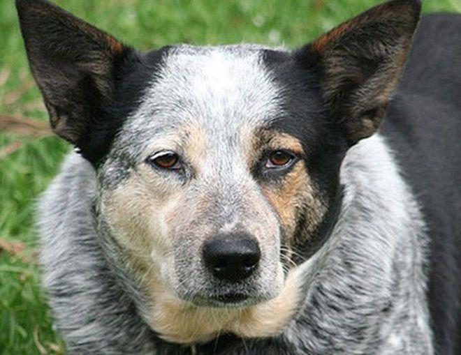 Собаки-долгожители: какие породы живут дольше всех