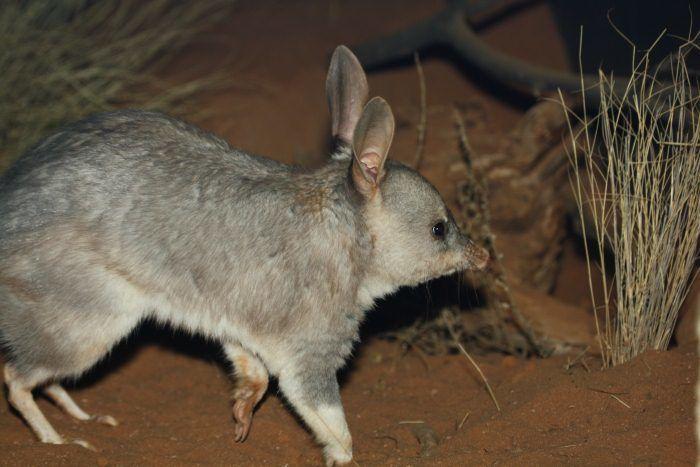 Вид: macrotis lagotis = кроличий бандикут, билби