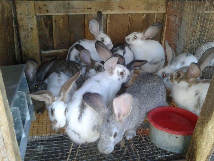 Разведение кроликов в домашних условиях: советы для начинающих
