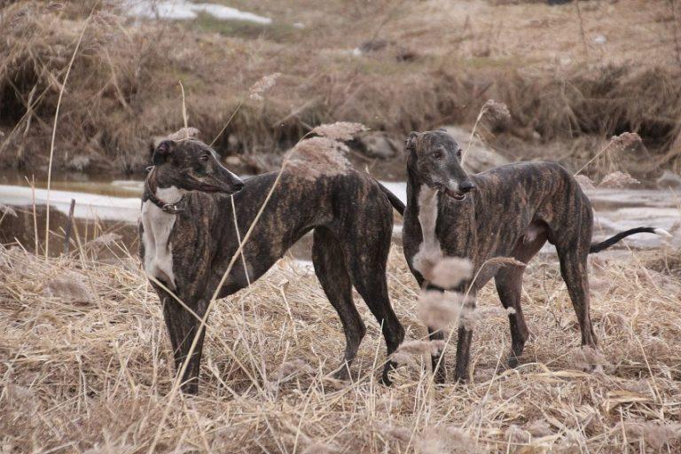 ???? келпи, динго и другие местные породы собак австралии - 2021